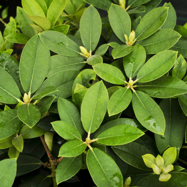 Rhododendron & Azalea