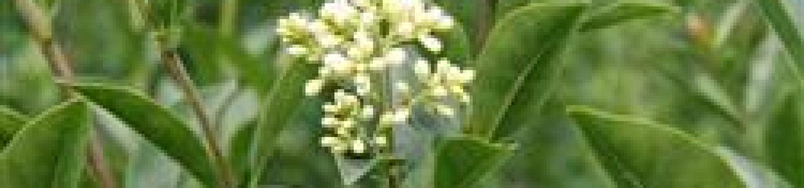 Ligustrum-vulgaris-liga